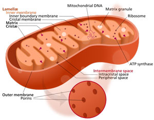 Mitochondria are responsible for cellular energy production and are protected by glutathione produced in the liver.