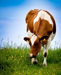Top 3 Upgraded Your Health Foods: Grass Fed Beef